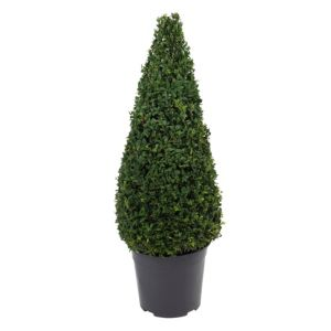 View B&Q Box Pyramid Hedge In Plant Pot details