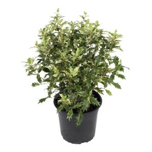 View B&Q Osmanthus Variegatus In Plant Pot details