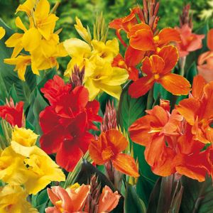 View Lily Canna Lily Bulbs details