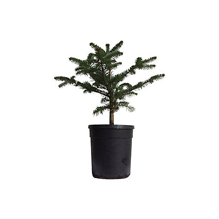 Small Nordman Fir Pot Grown Christmas Tree Departments