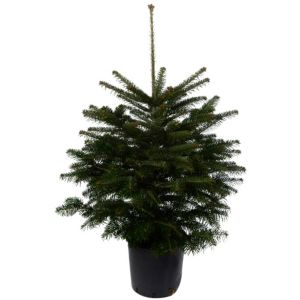 Medium Nordman Fir Pot Grown Christmas Tree Departments