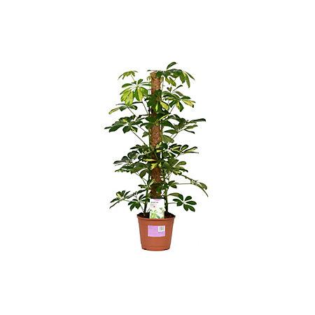 umbrella plant care instructions