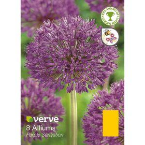 Image of Allium Purple sensation Bulbs