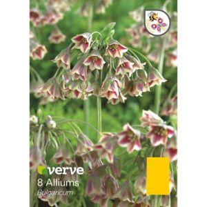 Image of Allium Bulgaricum Bulbs