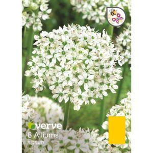 Image of Allium Nigrum Bulbs