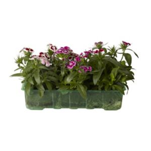Image of Climbing Dianthus Assorted All year round Bedding plant Pack of 6