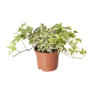 Image of Climbing Ivy Autumn Bedding plant 10.5cm Pot