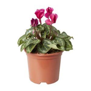 Image of Cyclamen Flame mix Autumn Bedding plant 13cm Pot