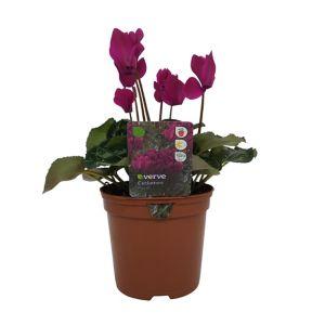 Image of Cyclamen Bi-colour Autumn Bedding plant 13cm Pot