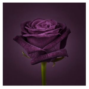 View Purple Rose Dark Purple & Green Wall Art (W)60cm (H)60cm details