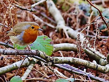 Robin perched on tree