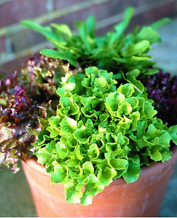 Salad leaves in pot