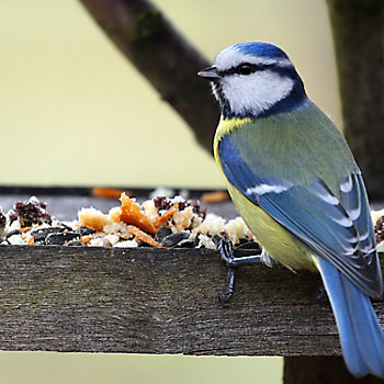 blue tit eating food off a feeding table