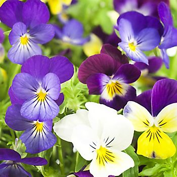 winter bedding - winter-flowering pansies