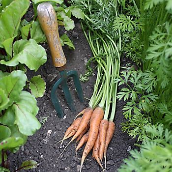 carrots on soil