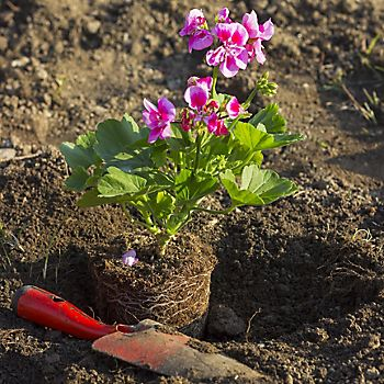 Pot-grown Geranium being planted in the ground