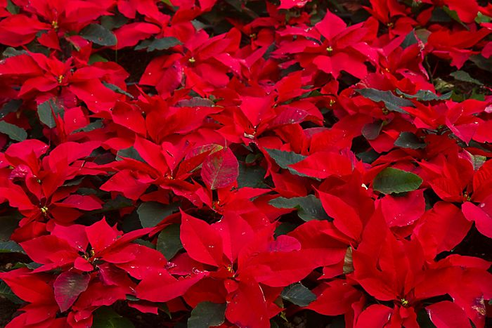 brightly coloured red christmas poinsettias