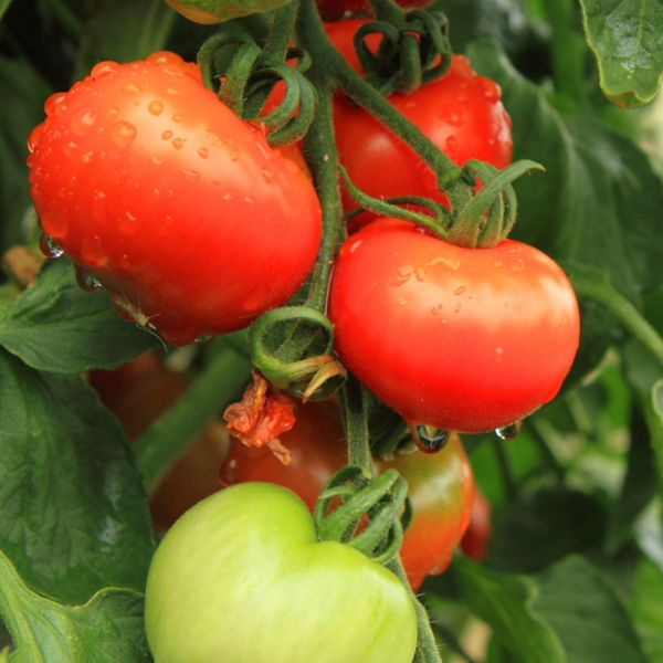 HOW TO GROW TOMATO PLANTS