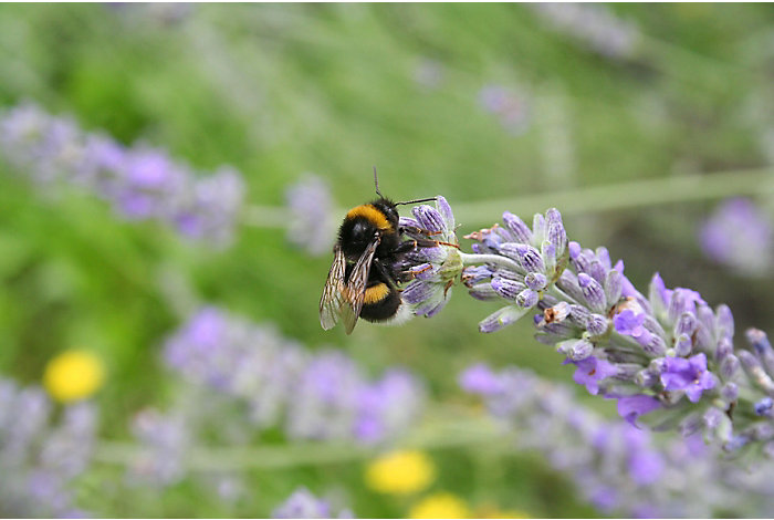 Bee on lavendar plant