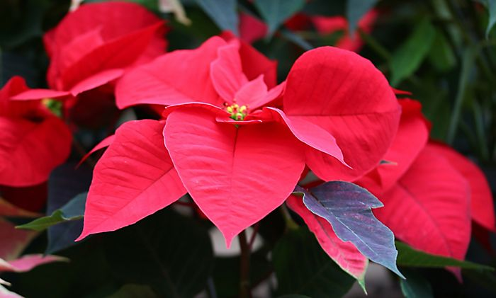 """Red poinsettia in profile"""