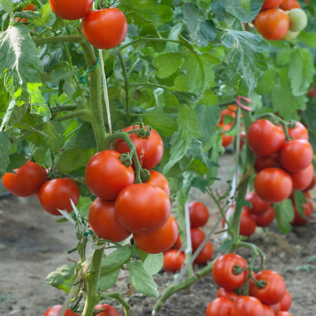 Tomatoes on a vine