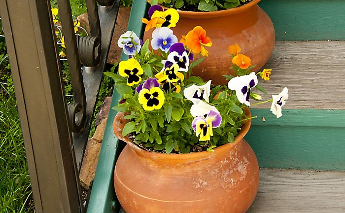winter-flowering pansies in pot