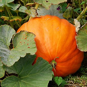 grown pumpkin in pumpkin patch