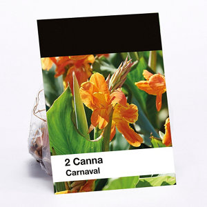 Image of Carnaval Canna indica Flower bulb
