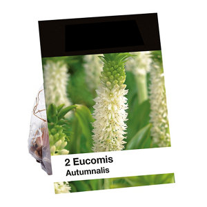 Image of Autumnalis Eucomis Flower bulb