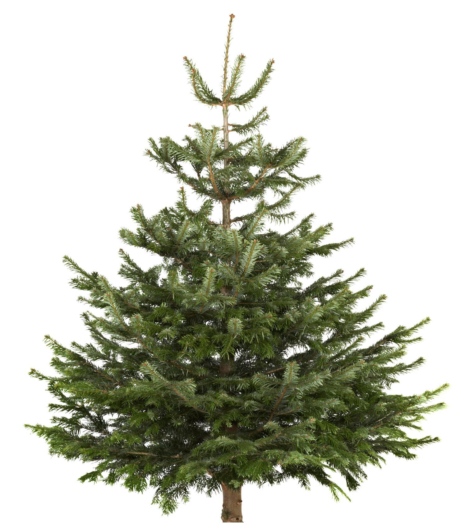 Medium Nordman Fir Cut Christmas Tree