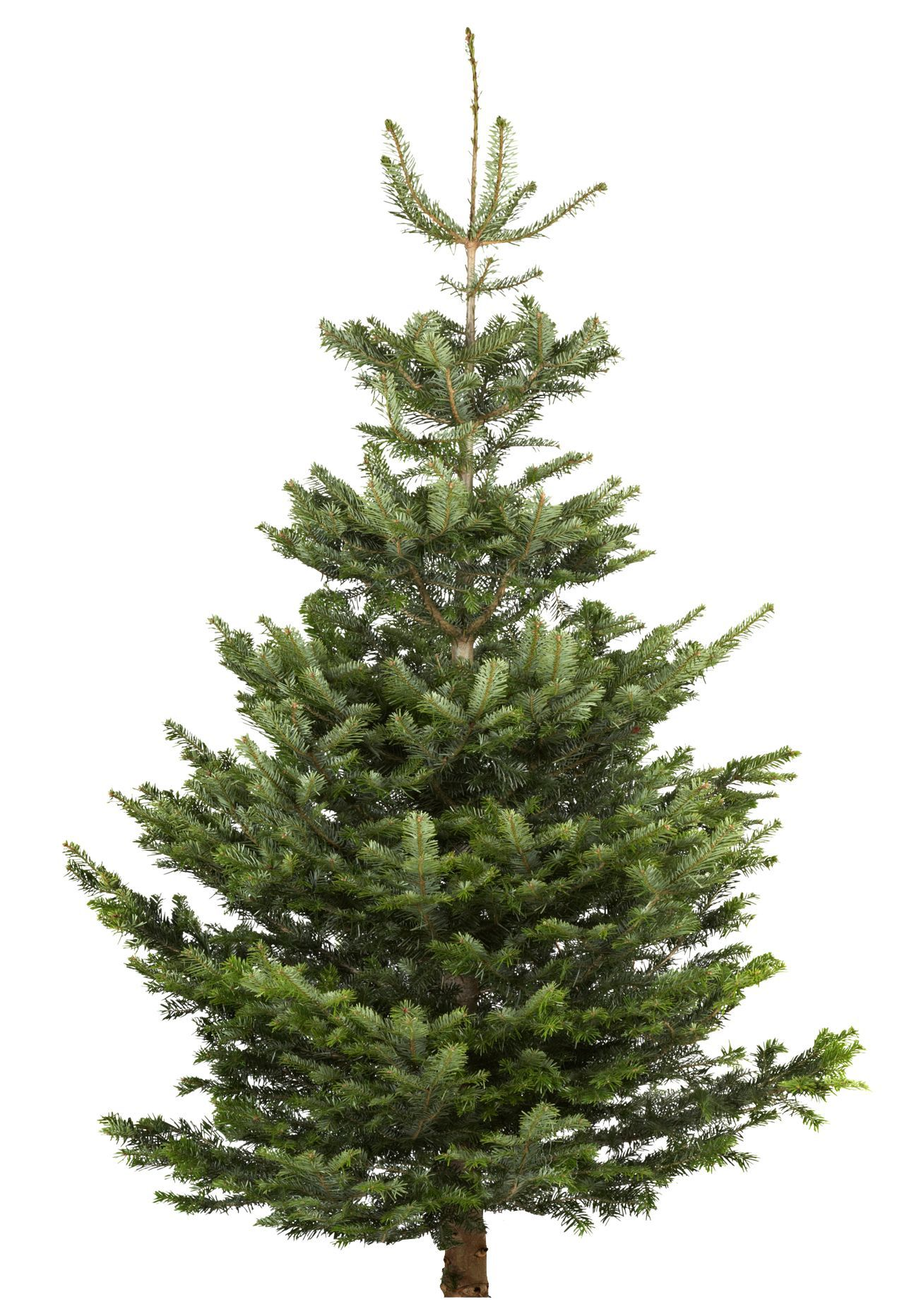 Large Nordman fir Real christmas tree | Departments | DIY ...