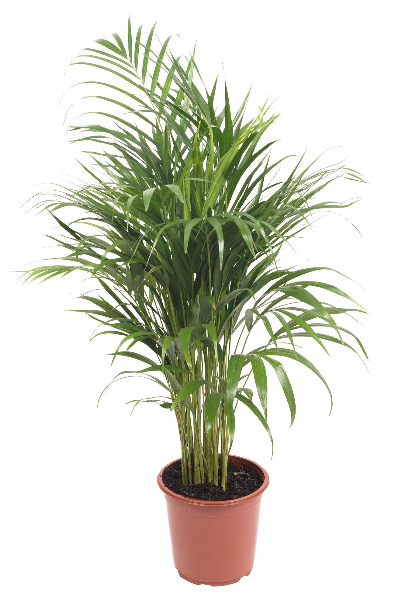 B Amp Q Green Palm Tree In Plant Pot Departments Diy At B Amp Q