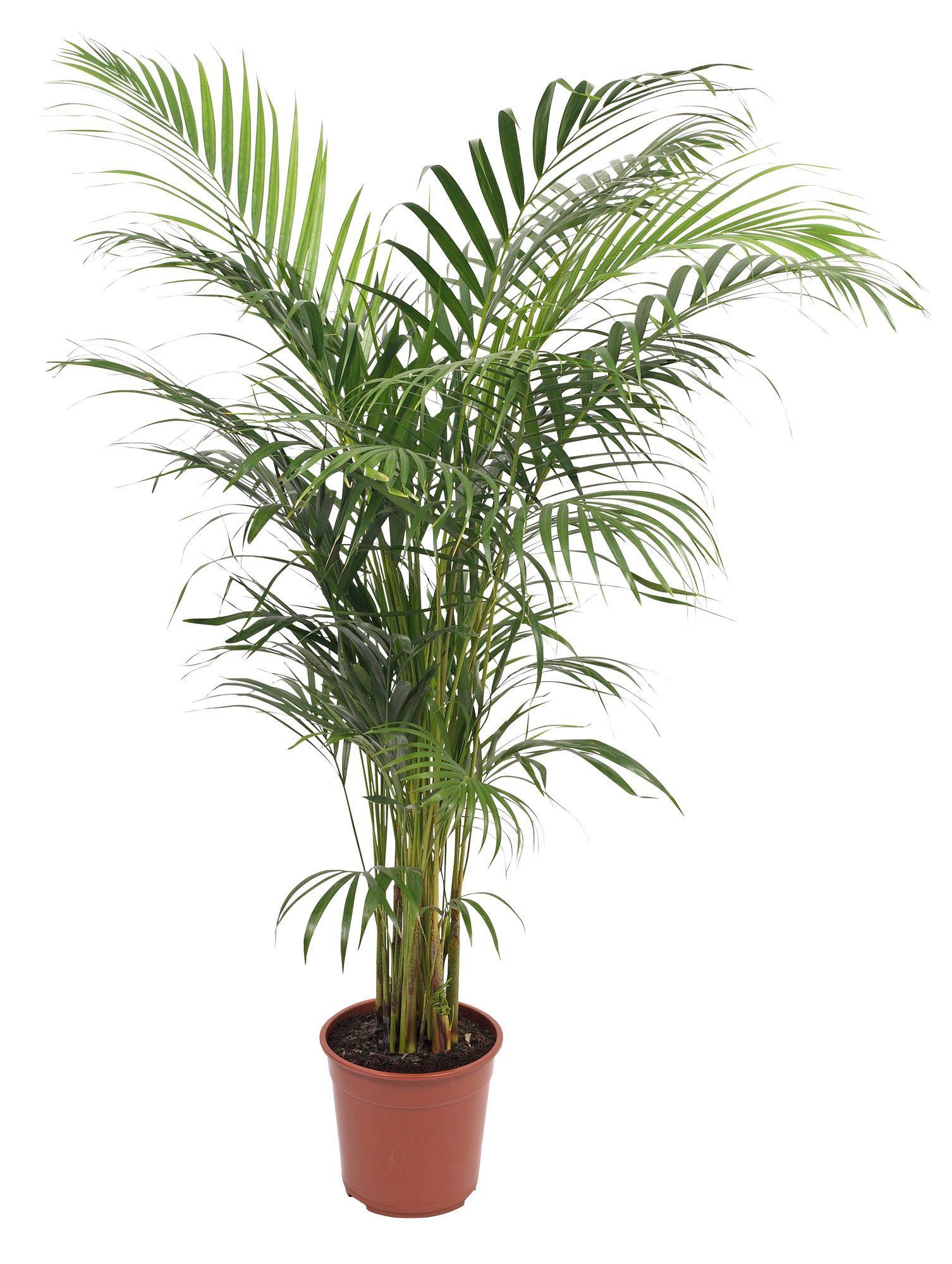 bq palm tree in plant pot departments diy at bq - House Plants Tree