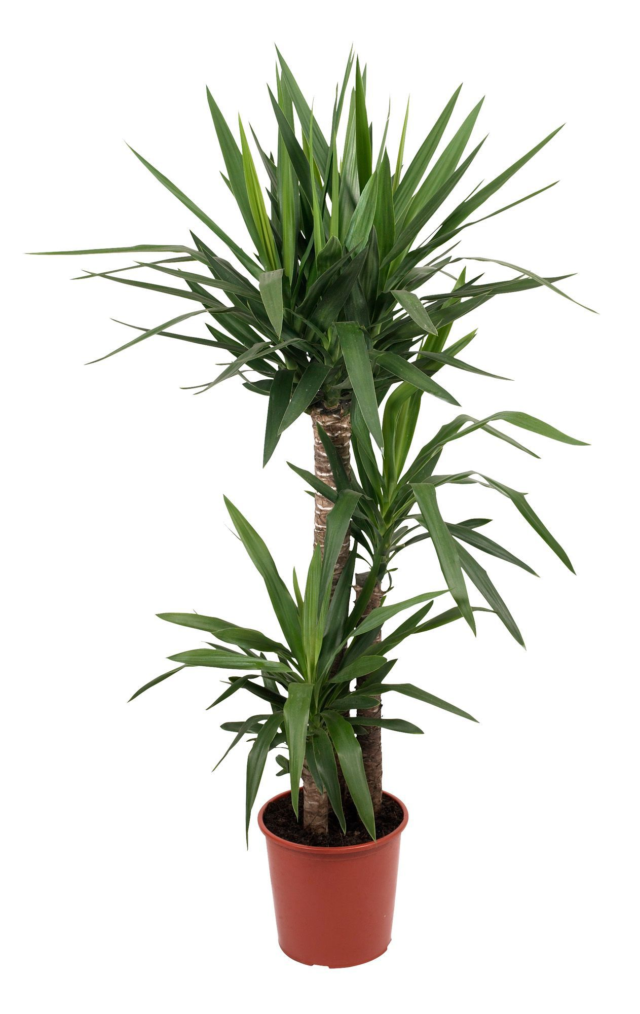 B Amp Q Yucca Tree In Plant Pot Departments Diy At B Amp Q