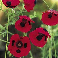Verve Poppy Seeds, Ladybird Mix