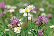 How to create a wildflower lawn