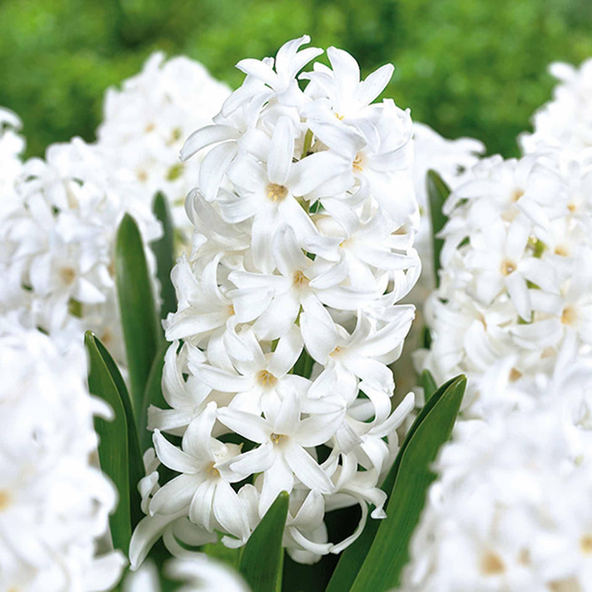 Hyacinths Carnegie Hyacinthus Orientalis Bulbs