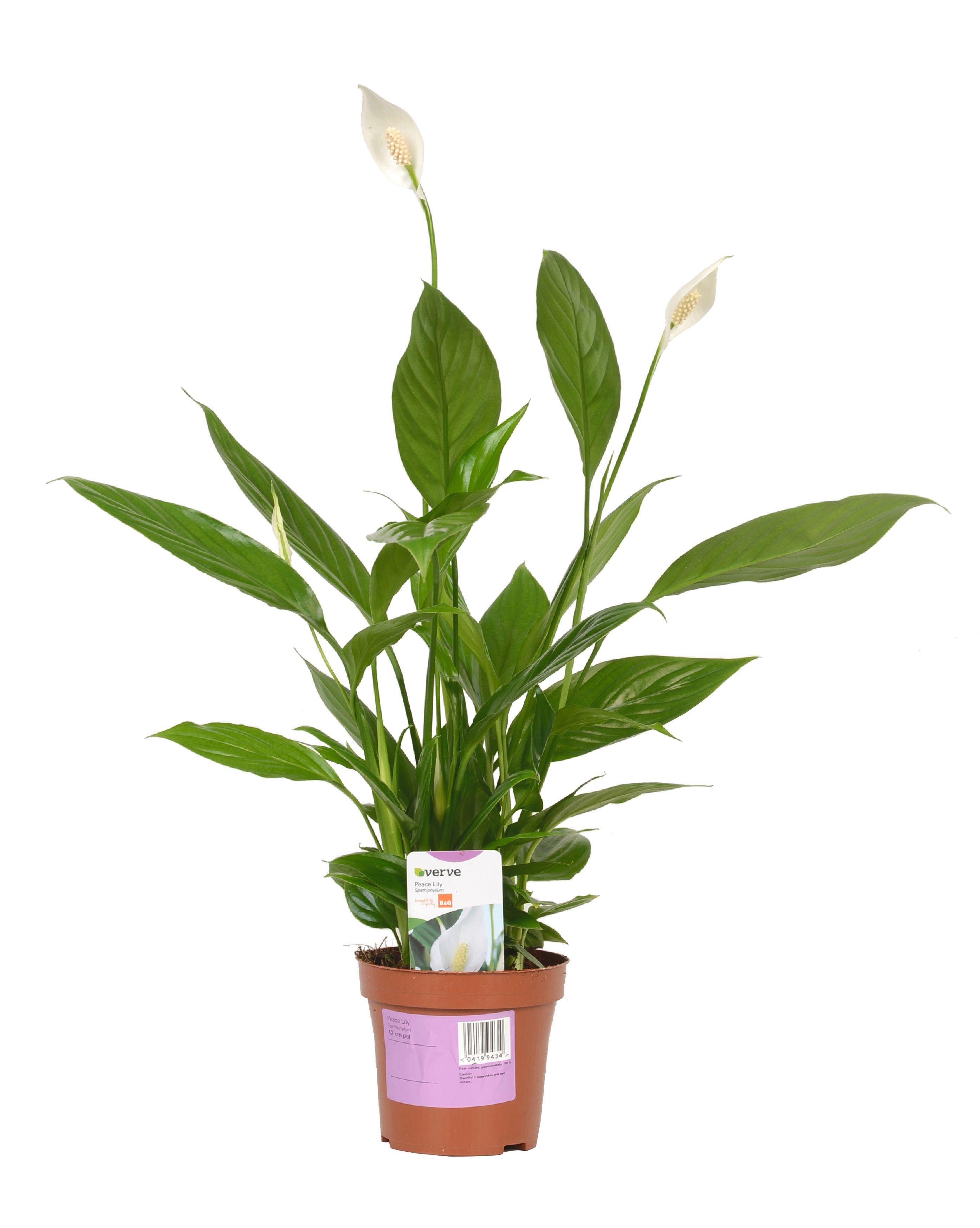 Verve Peace Lily In Plastic Pot Departments Diy At B Amp Q