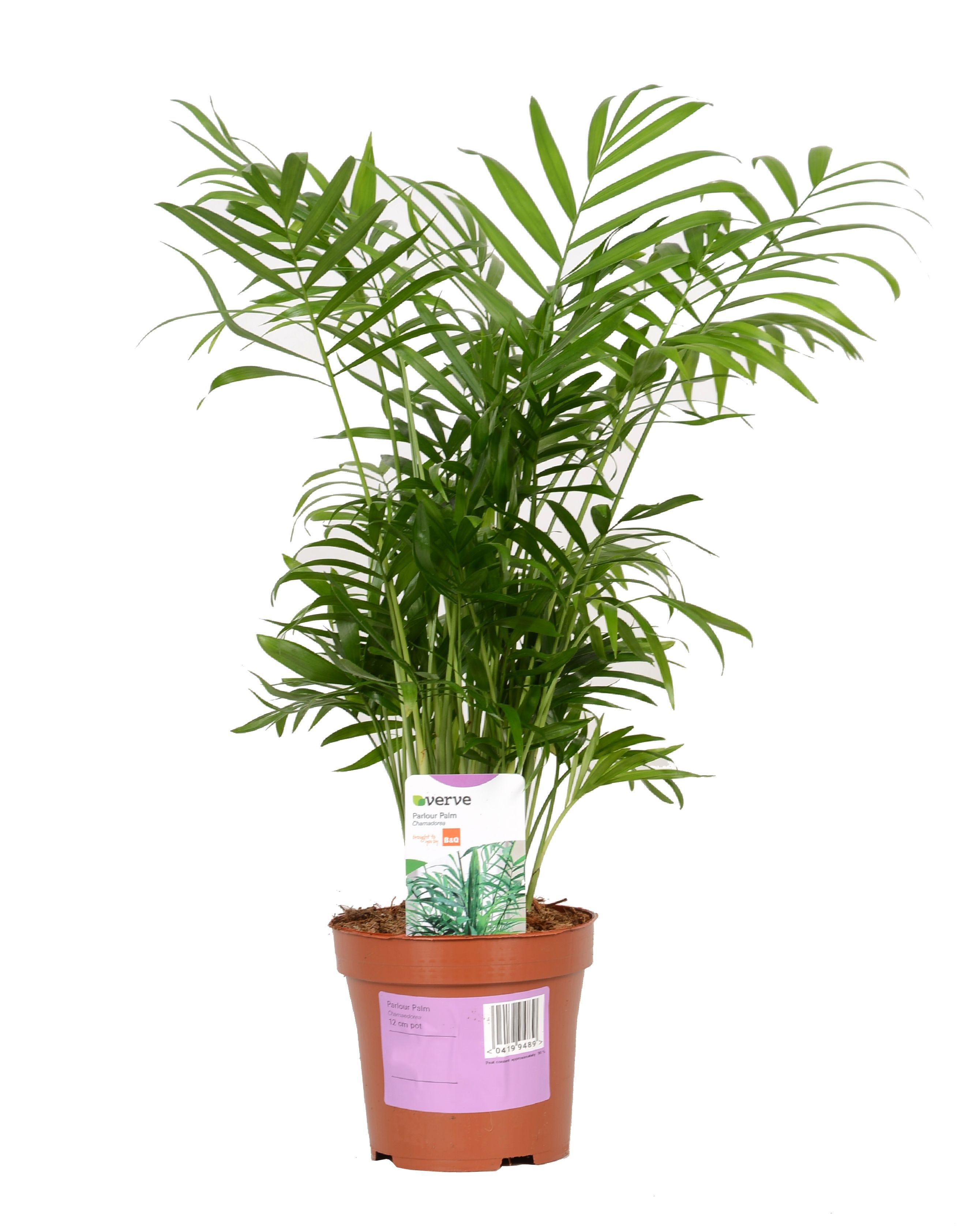 Verve Parlour Palm In Plastic Pot Departments Diy At B Amp Q