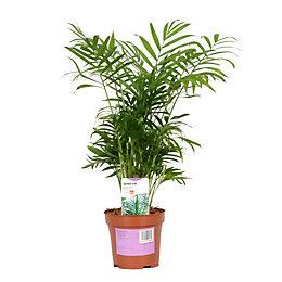 Verve Parlour Palm In Plastic Pot