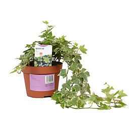 Verve Ivy In Plastic Pot