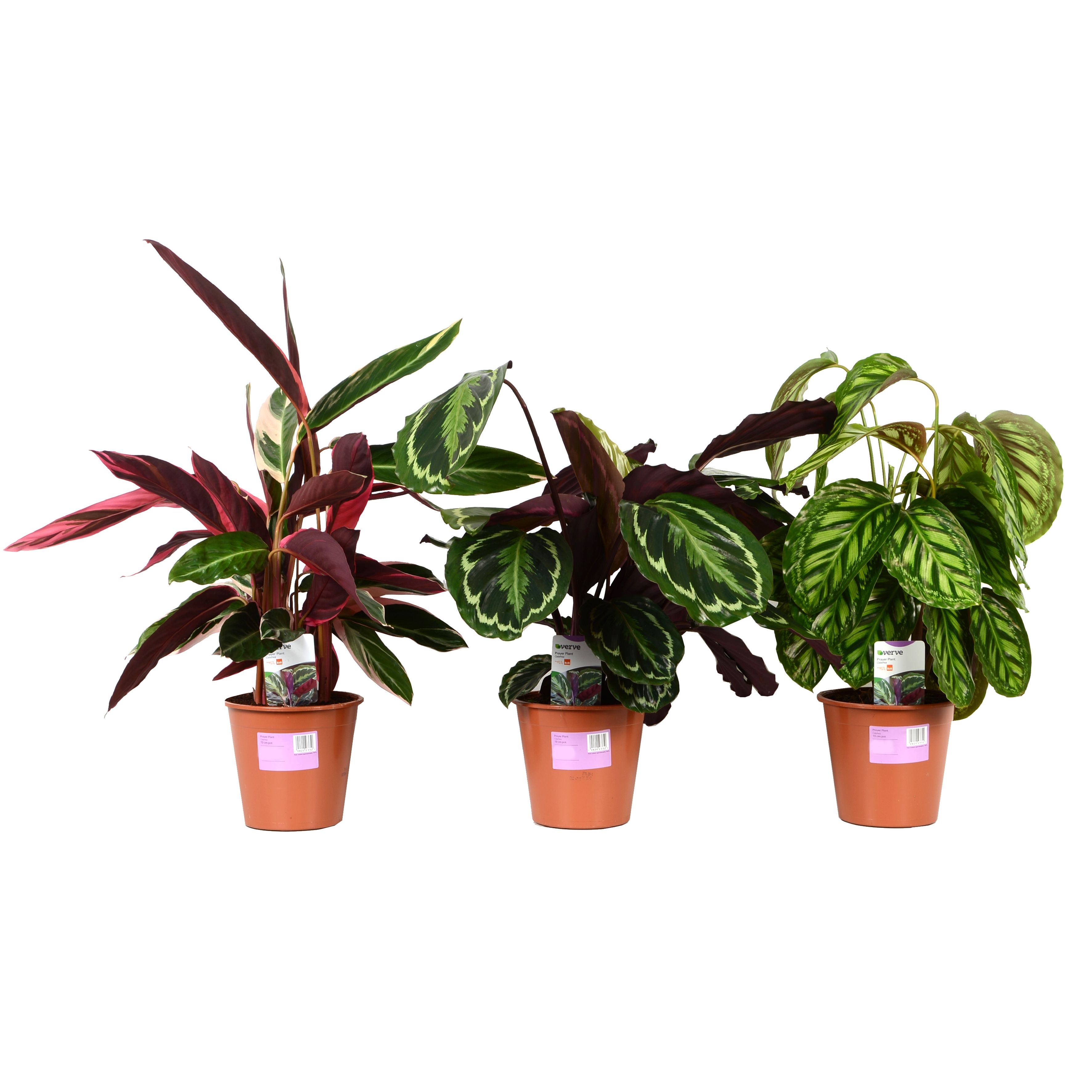 Verve Prayer Plant In Plastic Pot Departments Diy At B Amp Q