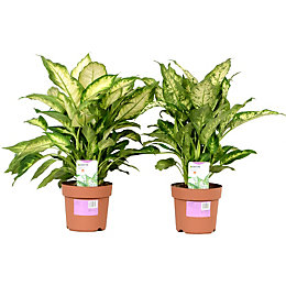 Verve Leopard Lily In Plastic Pot