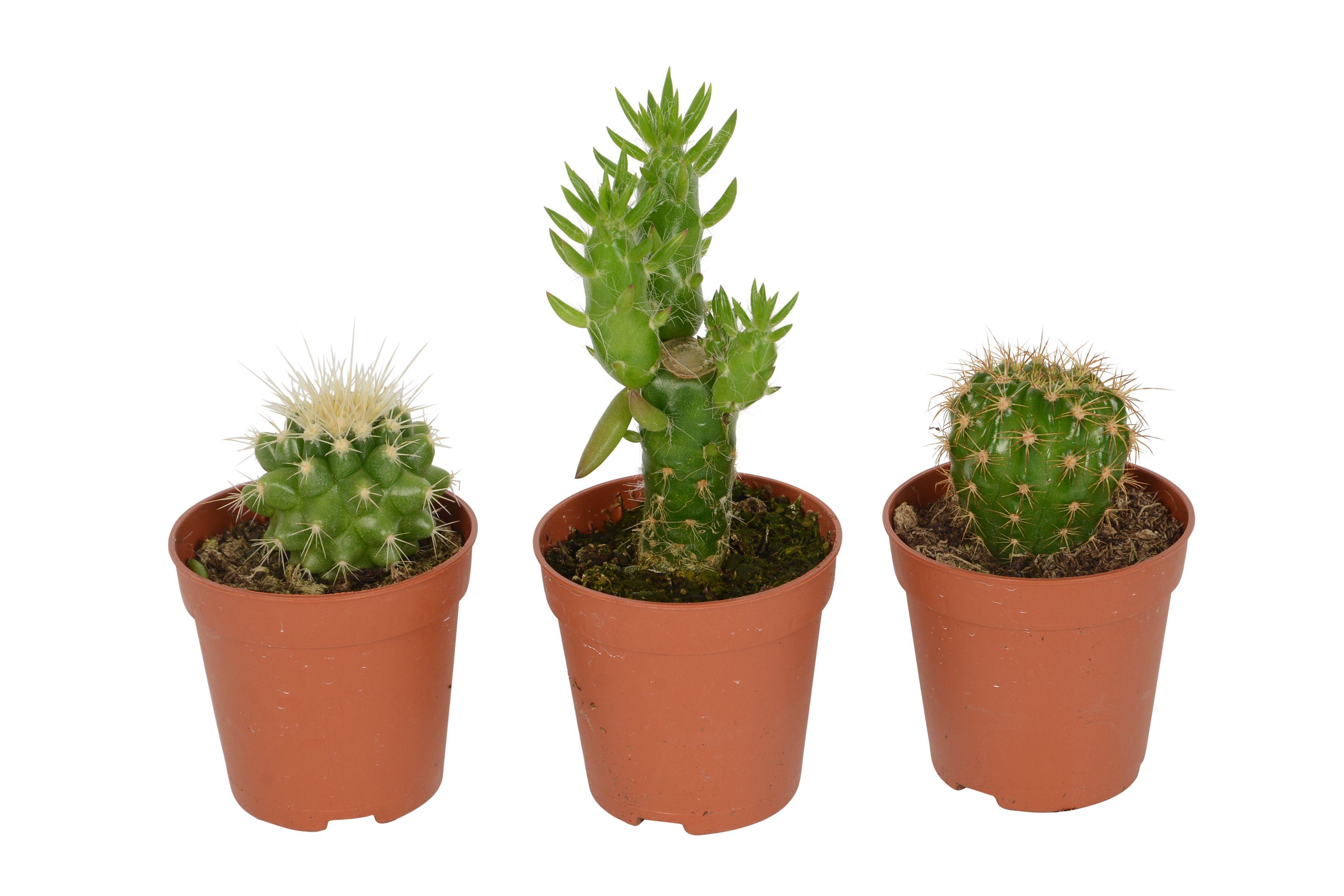 B&Q Cactus   Departments   DIY at B&Q