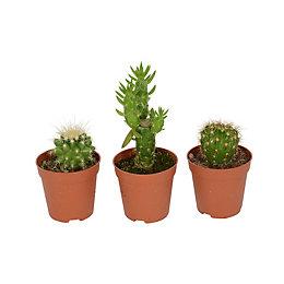 B&Q Cactus