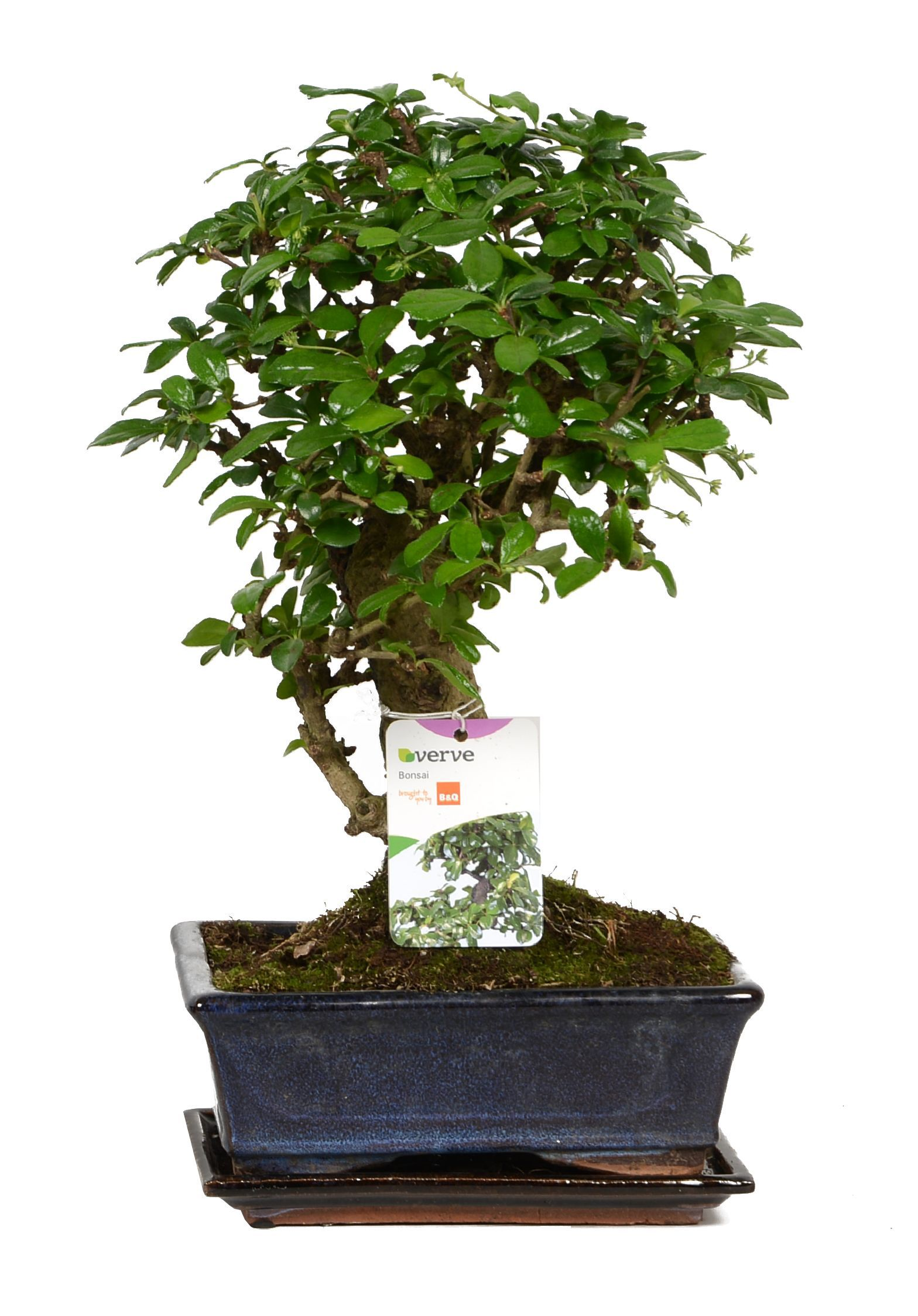 Verve Large Bonsai In Ceramic Pot Departments Diy At B Amp Q