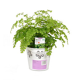Verve Maidenhair Fern In Zinc Pot