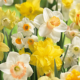 Narcissus Mixed Bulbs