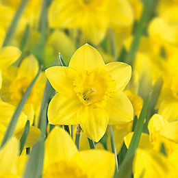 Narcissus Trumpet barrenwyn Bulbs