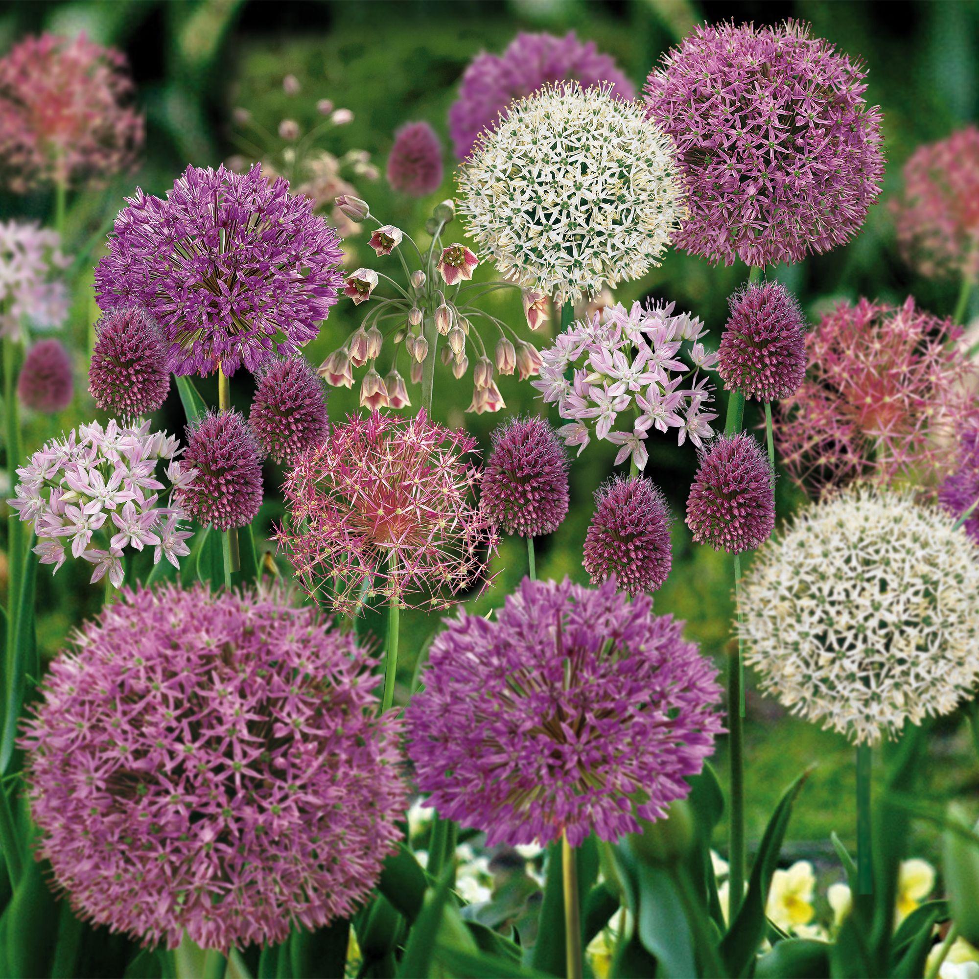 Allium Mixed Bulbs Departments Diy At B Amp Q